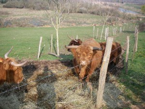 Hightland cattle au marais des Tresseaux (Averdon)