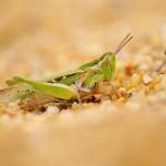 CRIQUET DES DUNES -Calephorus compressicornis-