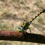 GOMPHE A CROCHETS -Onychogomphus uncatus-