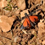 OEDIPODE ROUGE -Oedipoda germanica-