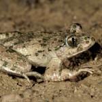 PELODYTE PONCTUE -Pelodytes punctatus-