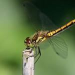 SYMPETRUM NOIR -Sympetrum danae-