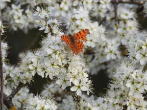 papillon - MALO -premier papillon de printempsbord de Cisse CANGEY