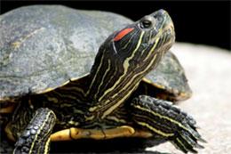 La cistude d europe syndicat mixte du bassin de la cisse - Bassin tortue floride strasbourg ...